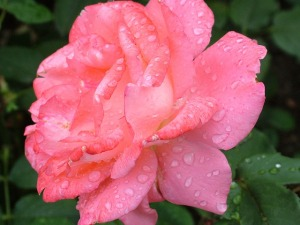 rose-168457_640